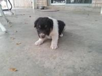 Border Collie Puppy. Born 9/4. From working stock. Tri