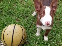 Super cute little Red&White Male purebred Border Collie