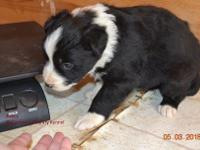 Female black and white border collie pup. Full AKC