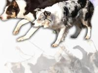 Breeding announcement ABCA Border Collies pups due 4/28