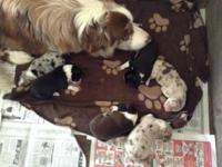For sale: 6 purebred border collie puppies-no papers.