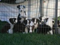 Beautiful ABCA registered border collie pups, red and