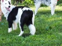Border Collie - Rally - Medium - Young - Male - Dog