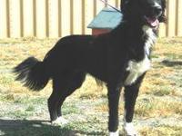Border Collie - Ruff - Large - Adult - Male - Dog Hey