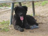 Border Collie - Scout - Large - Young - Male - Dog