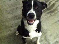 Border Collie - Sophie - Medium - Young - Female - Dog