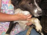 Border Collie - Sugar - Medium - Adult - Female - Dog
