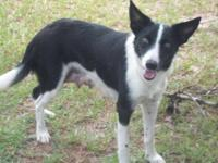 Border Collie - Sugar - Medium - Young - Female - Dog