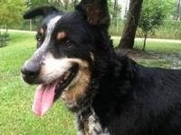 Border Collie - Susie - Medium - Adult - Female - Dog
