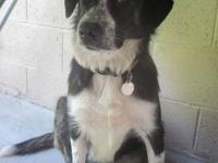 Border Collie - Thelma - Medium - Baby - Female - Dog
