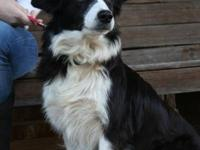 Border Collie - Tulip - Medium - Adult - Female - Dog