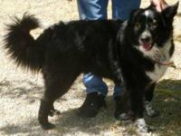 Border Collie - Wiggins - Medium - Adult - Male - Dog