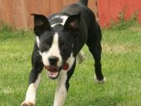 Border Collie - Ziggy - Adoption Pending! - Medium -