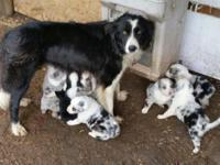 Super cute smaller border collies. Smart and gorgeous.
