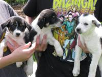 Border Collie puppies, vet checked, dew claw removed