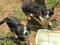 I have a pair of border collies for sale. They are
