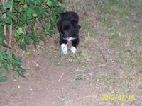10 weeks of age very nice puppies. Both Partents are