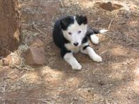 Border Collie pups 3 mouths old out of working dogs can