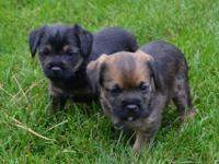 Border Terrier Puppies for