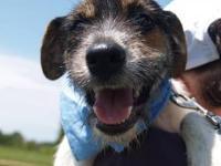 Border Terrier - Slim - Medium - Adult - Male - Dog We