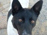 Border Collie - Alecto - Medium - Adult - Male - Dog