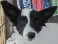 Border Collie - Bonnie - Medium - Young - Female - Dog