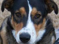 Border Collie - Coco Id - 25602 - Medium - Young -