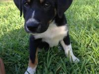 Border Collie Mix Puppy, male, 9 wks old. Up-to-date on