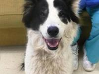 Border Collie - Panda - Large - Adult - Female - Dog