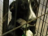 Border Collie - Pipa - Medium - Young - Female - Dog