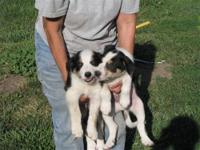 Rilee is a blk and white border collie pup. Born Jan.