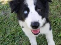Rough Collie Puppies For Sale In Florida Classifieds Amp Buy And Sell In Florida Americanlisted