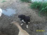 Border Collie - Shelly - Medium - Young - Female - Dog