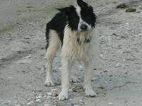 Border Collie - Sir Winston - Medium - Senior - Male -