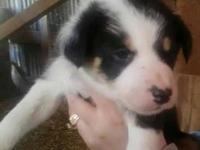 Border Collie X McNab X Catahoula working pups. Great