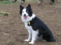 Mother is a AKC/ABCA Registered Border Collie. She is