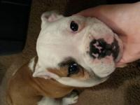 Boris is a red and white male purebred english bulldog.