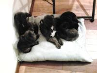 Boston/chihuahua puppies 8wks old 3 females and 2