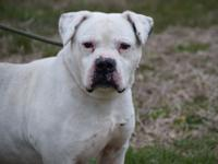 "This GORGEOUS purebred American  Bulldog is ""Boss""."