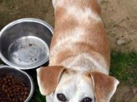 Boss is a 4 year old neutered male beagle. He was