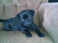 for sale Boston Terrier pug puppy she is 9 weeks old