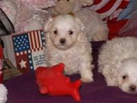 Bostiew teacup maltese puppies.We need the perfect