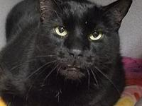 Boston's story Boston is a senior black short hair cat