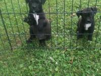 The mother is a Boston Terrier cross with Pitbull and