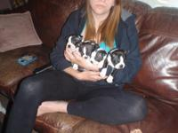 for sale 6 males boston puppies 1 female vet checked