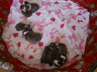AKC BOSTON TERRIER PUPPIES (RED AND WHITE) red and