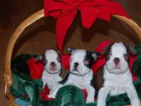 hi i have 3 boston pups left 2 red and white males and