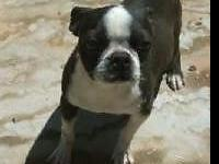 I have three adult Boston Terriers available to homes