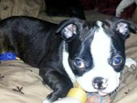 Boston Terrier puppy, AKC Registered, 8 weeks, Male,