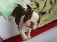 We have some Beautiful Boston Terrier Puppies. They are